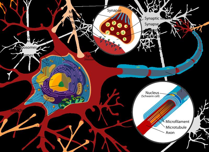 Imagen 3. Ejemplo apliación https://en.wikipedia.org/wiki/Neuron#/media/File:Complete_neuron_cell_diagram_en.svg Autoría: LaydyofHats amb licencia Creative Commons Genérica de Atribución / Compartir- Igual 3.0. (consultado el 2 de abril de 2017)